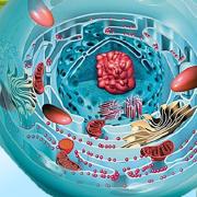 Les tocotriénols sont une forme rare de vitamine E aux propriétés anti-âge formidable en protégeant des radicaux libres et des accidents vasculaires. Les tocotriénols entrent dans la formulation du SynerBOOST de Jacques Prunier, fondateur des laboratoires SynerJ-Health.