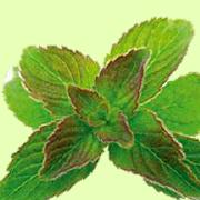 Antispasmodiques, antibactérienne et anti-inflammatoire, profitez des bienfaits formidable d'une plante exceptionnelle : le Périlla. Son huile est un des composants du SynerStin, un complément alimentaire bien-être 100% naturel du groupe SynerJ-Health créé par Jacques Prunier, le chercheur français à qui l'ont doit l'accès à l'AFA Aphanizoménon AlphaOne en Europe.