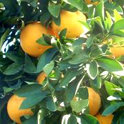 Le pamplemousse, appelé pomelo, Citrus Paradisi, est utilisé depuis des millénaires pour ses nombreuses propriétés thérapeutiques, notamment ses pépins dont on extrait un liquide puissant, antibactérien, fongicide, antiviral, l'EPP (ou Extrait de Pépins de Pamplemousse), commercialisé sous l'appellation SynerPeps Citropur par SynerJ-Health de Jacques Prunier.